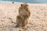 Monkey. Crab-eating macaque. Asia Thailand — Stock Photo