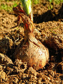 Onion bulb detail. Autumnal harvest. — Stock Photo