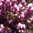Bee on blooming flower — Stock Video