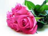 Isolated pink rose — Stock Photo