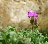 Purple bloom — Stock Photo