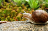 Snail on stone — Stock Photo