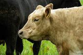 Cow in farm — Stock Photo