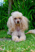 Poodle dog — Stock Photo