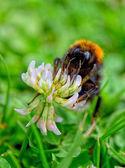 大黄蜂 — 图库照片