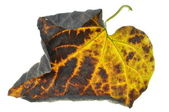 Twisted autumn leaf isolated on white background — Stock Photo