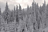 Forest covered with snow in winter — Stock Photo