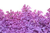 Flower of purple lilac — Stock Photo