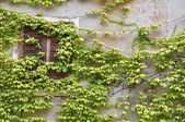 Wall with window overgrown with wine — Stock Photo