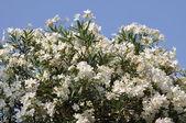 White vine flower — Stock Photo