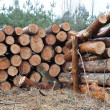 Stock Photo: Tree felled in forest