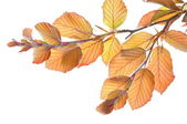 Twig beech tree in spring — Stock Photo