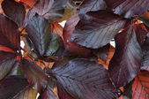 Beech tree fresh leaves — Photo
