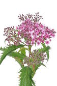 Spiraea flower — Stock Photo