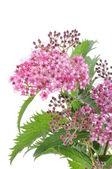 Spiraea flower — Stock Photo