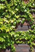 Ivy leaves on brick wall — Stock Photo