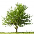 Foto Stock: Pear tree