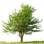 Pear tree — Stock Photo #12082816