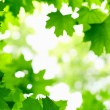 Green Maple leaves — Foto de Stock