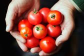Tomatoes in hands of the old person — Stock Photo