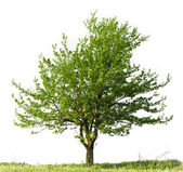 Pear tree — Stock Photo