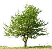 árvore de pêra — Foto Stock