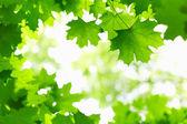 Fresh Green Leaves. — Stock Photo