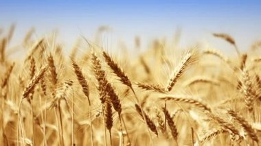 Wheat background — Stock Video