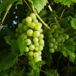 Green grapes on vine — Stockfoto