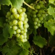 Grapes on vine — Stock Photo