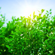 Royalty-Free Stock Photo: Green leaves and sun