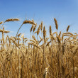Wheat field against a blue sky — Stock Photo
