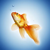 Golden koi fish — Stock Photo