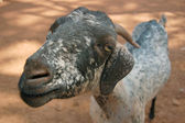 Close up of a goat — Stock Photo