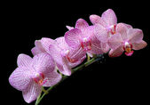 Pink orchids against black background — Stock Photo