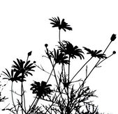 Daisies silhouettes against white background — Stock Photo