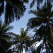 Upward view of palm trees against blue sky — Foto de Stock
