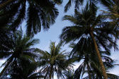 Upward view of palm trees against blue sky — Stock Photo