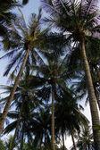 Vista verso l'alto delle palme — Foto Stock