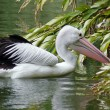 A pelican looking for food — Stock Photo
