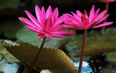 Pink waterlilies — Stock Photo