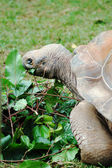 Tortoise eating leaves — Stock Photo