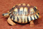 Turtle — 图库照片