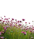 Pink flowers in a field — Stock Photo