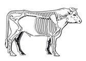 Cattle skeleton — Stock Vector