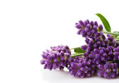 Lavender bunch — Stock Photo