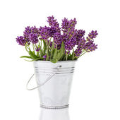 Lavender in a metal bucket — Stock Photo
