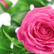 Flower of pink roses on white — Stockfoto #12891194