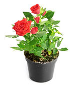 Red Rose in the flower pot — Stock Photo