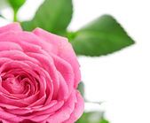 Flower of pink roses on white — Stock Photo